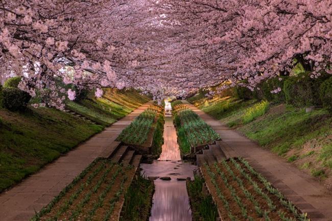2706555-R3L8T8D-650-cherry-blossoms-in-bloor-yokohama-japan-hanami