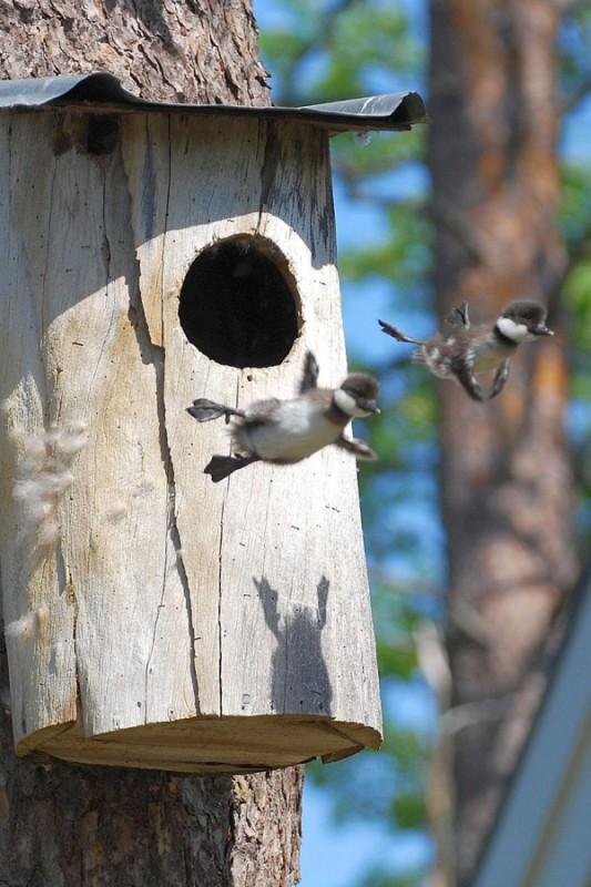 2708155-R3L8T8D-600-baby-common-goldeneye-ducks-leaving-nest-flying-for-first-time