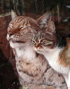 Рысь приняла и полюбила бездомную кошку.