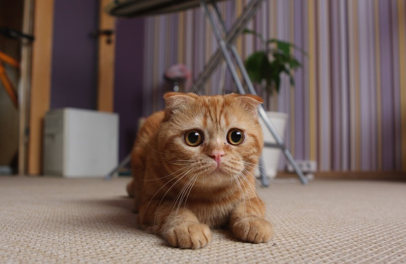кошки-породы-шотландская-вислоухая-фото